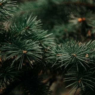 Weihnachtsbaum Nordmanntanne bis 1,50 m