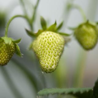 Erdbeeren 250g Schale