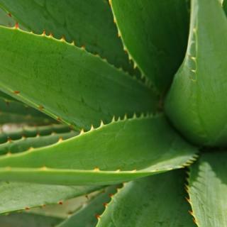 Aloe Vera Blätter frisch