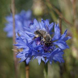 Blüten Kornblumen blau