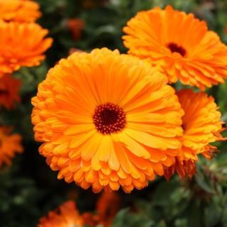 Blüten Calendula